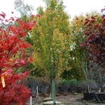 Acer x (Armstrong) Armstrong Maple
