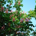Aesculus x carnea (Fort McNair) Horse Chestnut