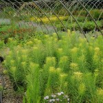 Amsonia hubrichtii   Threadleaf Bluestar