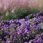 Aster novae-angliae (Purple Dome) New England Aster