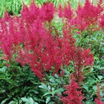 Astilbe japonica (Red Sentinel) False Spiraea