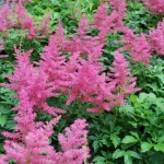 Astilbe x (Younique Cerise) False Spiraea