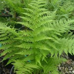 ATHYRIUM FILIX FEMINA Common Lady Fern