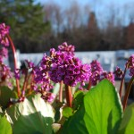 Bergenia cordifolia (Heartleaf Bergenia) in flower