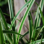 Carex morrowii (Ice Dance) Sedge closeup