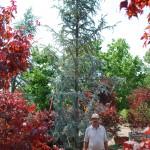 Cedrus atlantica (Blue Atlas Cedar)