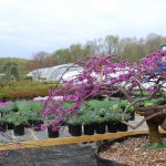 Cercis canadensis (Lavender Twist low graft) Eastern Redbud