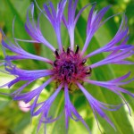 Centaurea montana (Bachelors Button) closeup