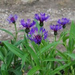 Centaurea montana (Bachelors Button)