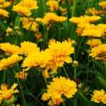 Coreopsis grandiflora (Early Sunrise) Tickseed