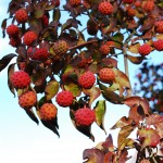 Cornus kousa (Kousa Dogwood) fall fruit