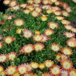 Delosperma x (Jewel of Desert Ruby) Ice Plant