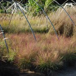 Eragrostis spectabilis (Purple Lovegrass)