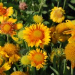 Gaillardia  aristata (Arizona Apricot) Blanket Flower