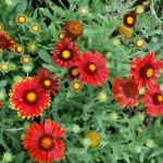Gaillardia aristata (Arizona Red Shades) Blanket Flower