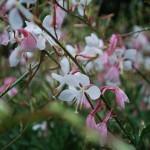 Gaura lindheimeri (Whirling Butterflies) Wand Flower