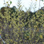 Hamamelis virginiana (Common Witchhazel)