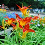 Hemerocallis (Mallory Brook)