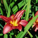 Hemerocallis (Rosy Returns) Daylily