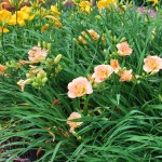 Hemerocallis (Siloam Double Classic) & (Chicago Apache) in back (Daylily)