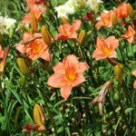 Hemerocallis (South Seas) Daylily