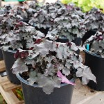 Heuchera x (Blackout) Coralbells