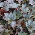 Heuchera x (Palace Purple) Coral Bells