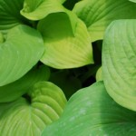 Hosta (August Moon) Plaintain Lily