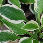Hosta (Patriot) Plantain Lily