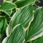 Hosta (So Sweet) Plantain Lily