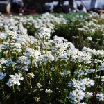 Iberis sempervirens (Alexanders White) Candytuft