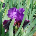 Iris germanica (Violet Turner) German Iris