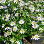 Kalimeris incisa (Blue Star) Blue Star Aster
