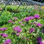 Monarda x (Blue Stocking) Bee Balm