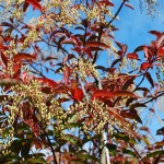 Oxydendron arboreum (Sourwood) fall color