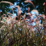 Pennisetum setaceum (Rubrum) Red Fountain Grass annual closeup