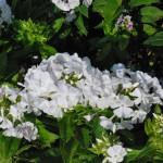 Phlox paniculata (David) Garden Phlox