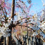 Prunus x (Snow Fountain) White Weeping Cherry