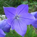 Platycodon grandiflorus (Sentimental Blue) Balloon Flower