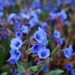 Pulmonaria saccharata (Blue Ensign) Lungwort