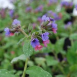 Pulmonaria saccharata (Mrs. Moon) Lungwort