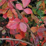 Rhus aromatica (Gro-low) Fragrant Sumac fall color
