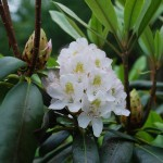 Rhododendron maximum (Rosebay Rhododendron)