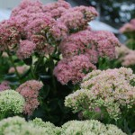 SEDUM AUTUMN JOY Stonecrop