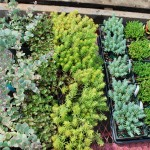Sedum sample in 4 inch pots (Stonecrop)