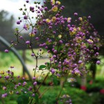 Thalictrum rochebrunianum (Meadow Rue)