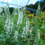 Veronica x (Icicle) Speedwell