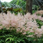Astilbe x (Younique Silvery Pink) False Spiraea