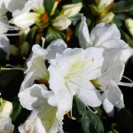 Azalea (Delaware Valley White)