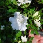 Azalea (Gumpo White)